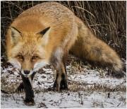 Creeper-Fox-1