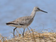 Shore-Bird-possibly-Greater-Yellow-Legs