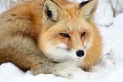 fox2-concentration_16663270155_o