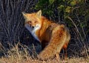 foxmrhandsome0600